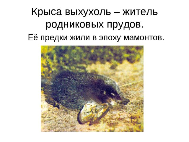 Крыса выхухоль – житель родниковых прудов. Её предки жили в эпоху мамонтов.