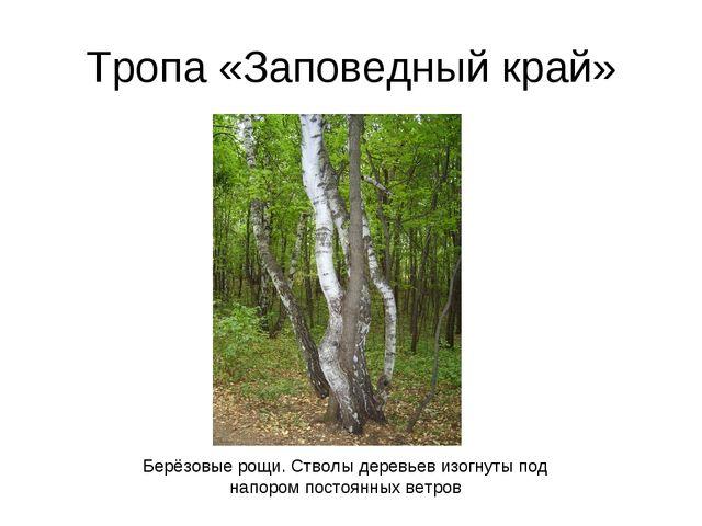 Тропа «Заповедный край» Берёзовые рощи. Стволы деревьев изогнуты под напором...