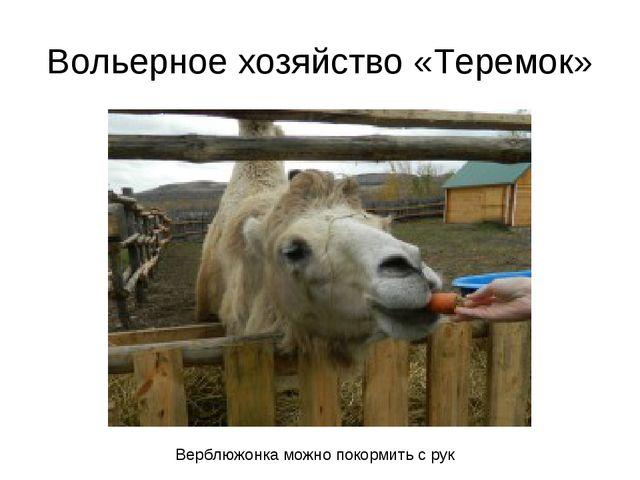 Вольерное хозяйство «Теремок» Верблюжонка можно покормить с рук