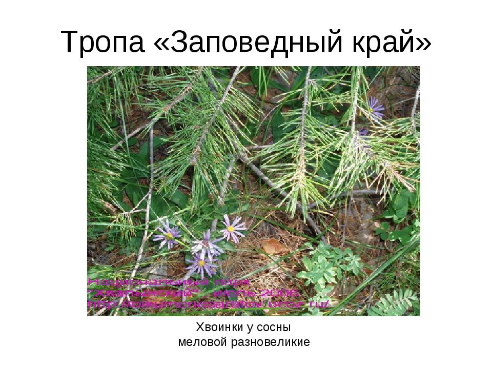 Тропа «Заповедный край» Хвоинки у сосны меловой разновеликие