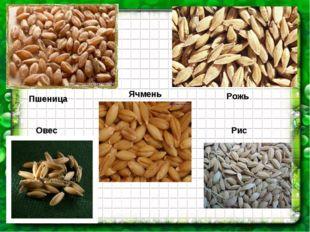 Пшеница Рожь Овес Рис Ячмень
