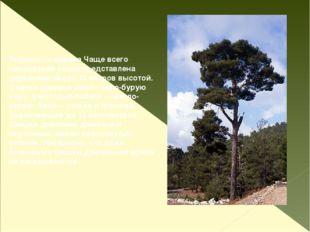 Внешность дерева Чаще всего пицундская сосна представлена деревьями около 15