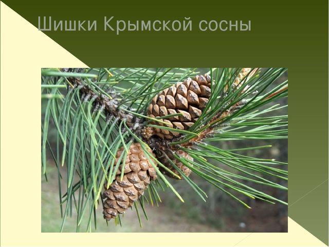 Шишки Крымской сосны
