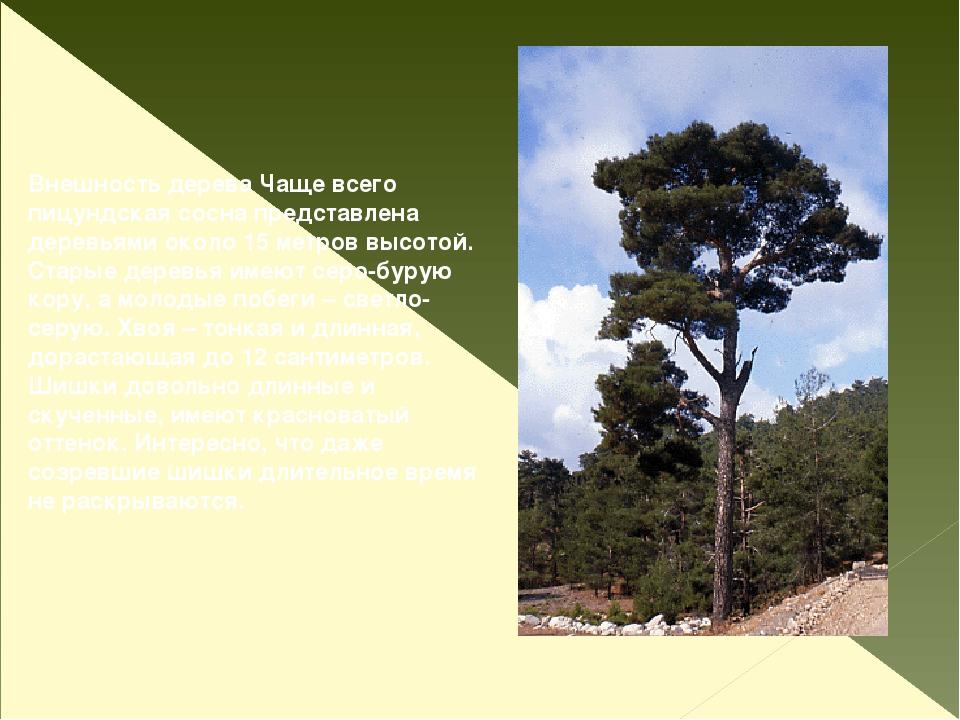 Внешность дерева Чаще всего пицундская сосна представлена деревьями около 15...