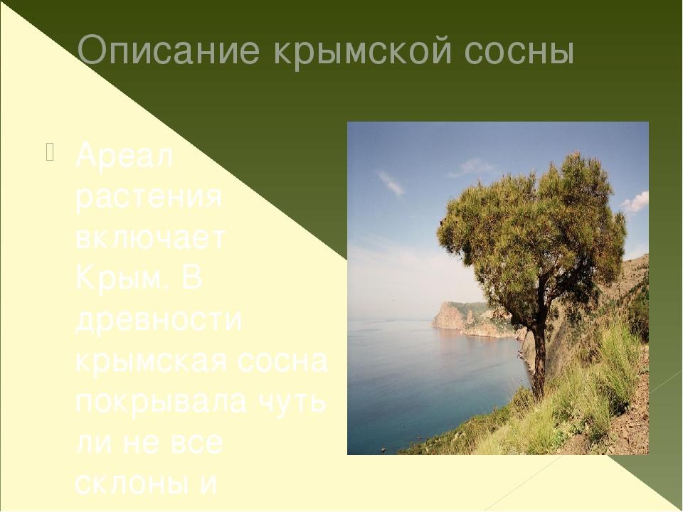 Описание крымской сосны Ареал растения включает Крым. В древности крымская со...