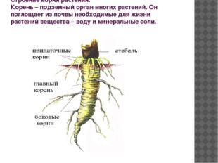 Строение корня растения. Корень – подземный орган многих растений. Он поглоща