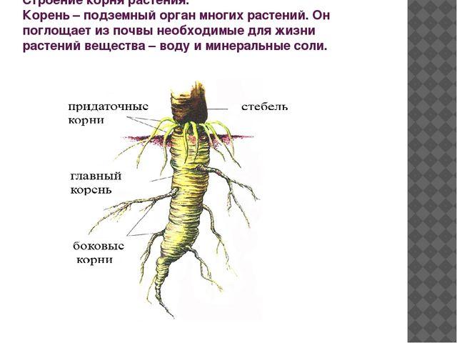 Строение корня растения. Корень – подземный орган многих растений. Он поглоща...