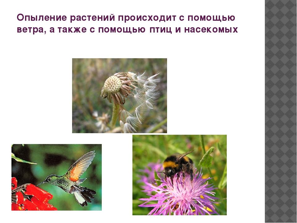 Опыление растений происходит с помощью ветра, а также с помощью птиц и насеко...