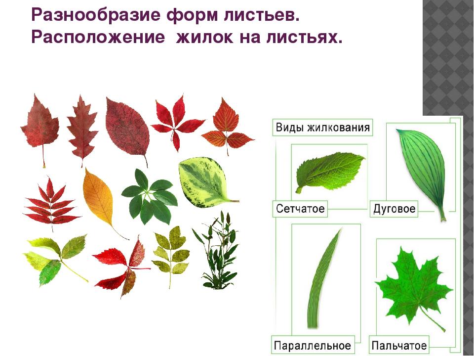 Разнообразие форм листьев. Расположение жилок на листьях.