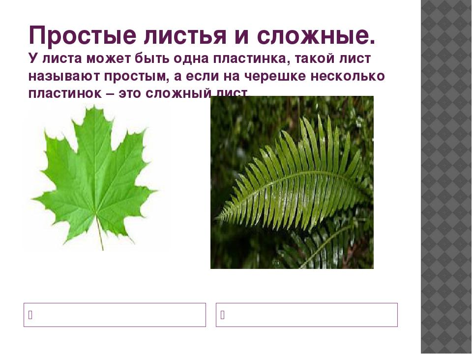 Простые листья и сложные. У листа может быть одна пластинка, такой лист назыв...