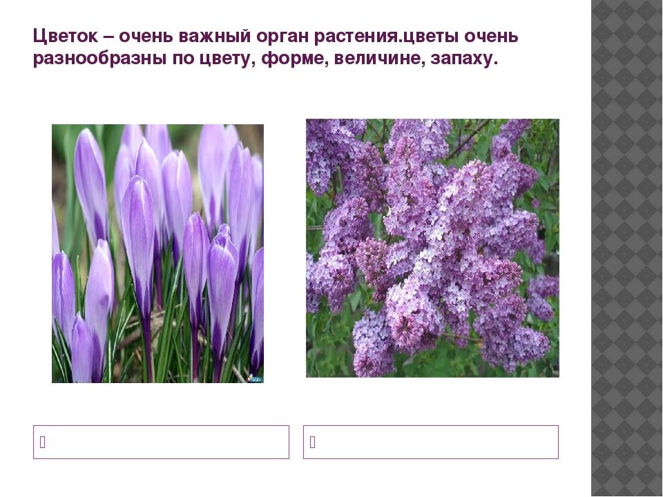 Цветок – очень важный орган растения.цветы очень разнообразны по цвету, форме...