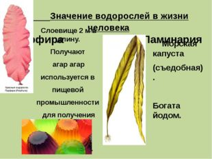 Значение водорослей в жизни человека Порфира Ламинария Слоевище 2 м в длину.