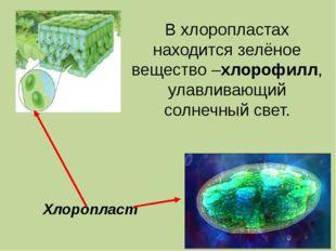 Хлоропласт В хлоропластах находится зелёное вещество –хлорофилл, улавливающий