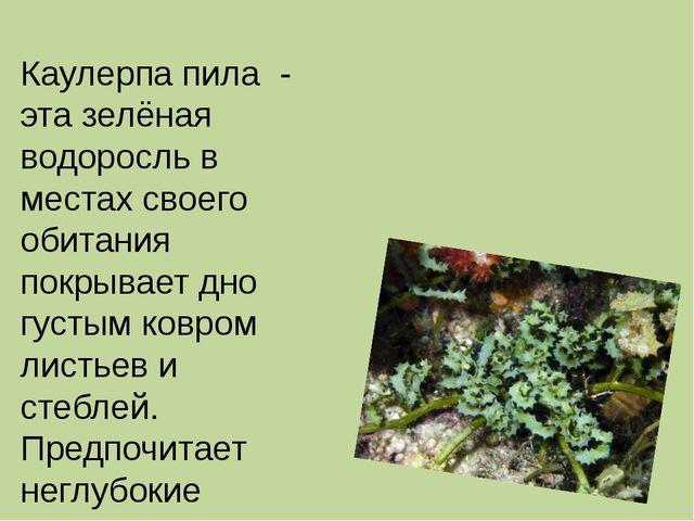 Каулерпа пила - эта зелёная водоросль в местах своего обитания покрывает дно...