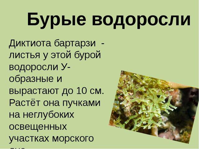 Бурые водоросли Диктиота бартарзи - листья у этой бурой водоросли У-образные...
