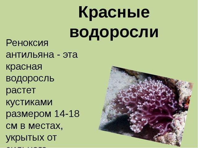 Красные водоросли Реноксия антильяна - эта красная водоросль растет кустиками...