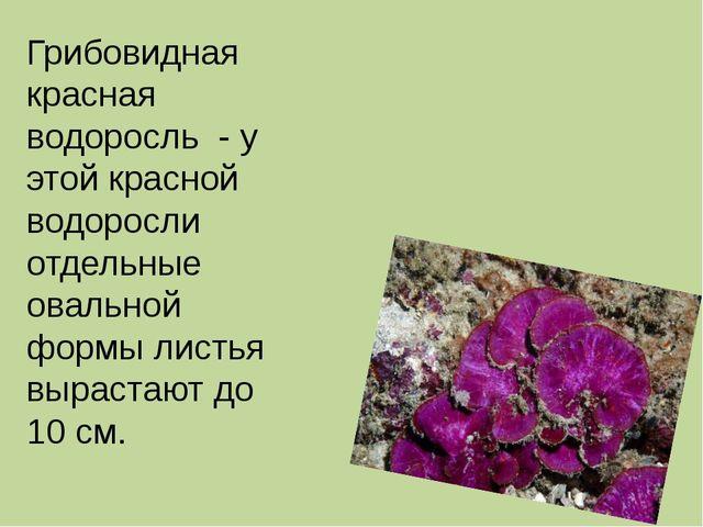 Грибовидная красная водоросль - у этой красной водоросли отдельные овальной...