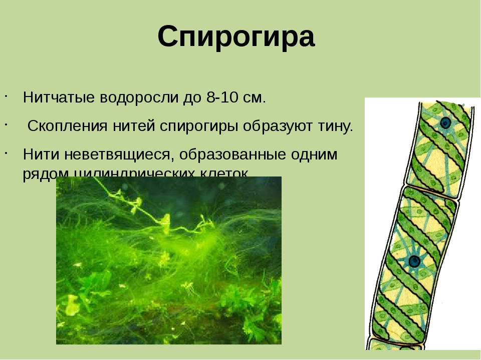 Спирогира Нитчатые водоросли до 8-10 см. Скопления нитей спирогиры образуют т...