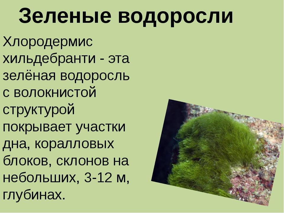 Зеленые водоросли Хлородермис хильдебранти - эта зелёная водоросль с волокнис...