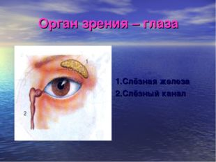 Орган зрения – глаза 1.Слёзная железа 2.Слёзный канал