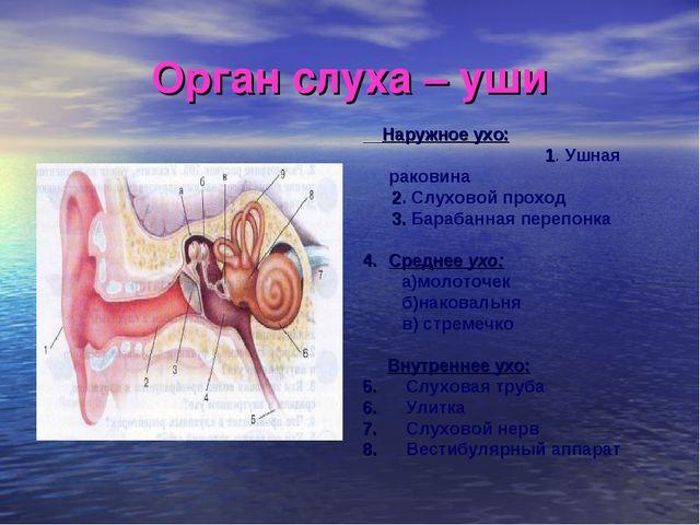 Орган слуха – уши Наружное ухо: 1. Ушная раковина 2. Слуховой проход 3. Бараб...