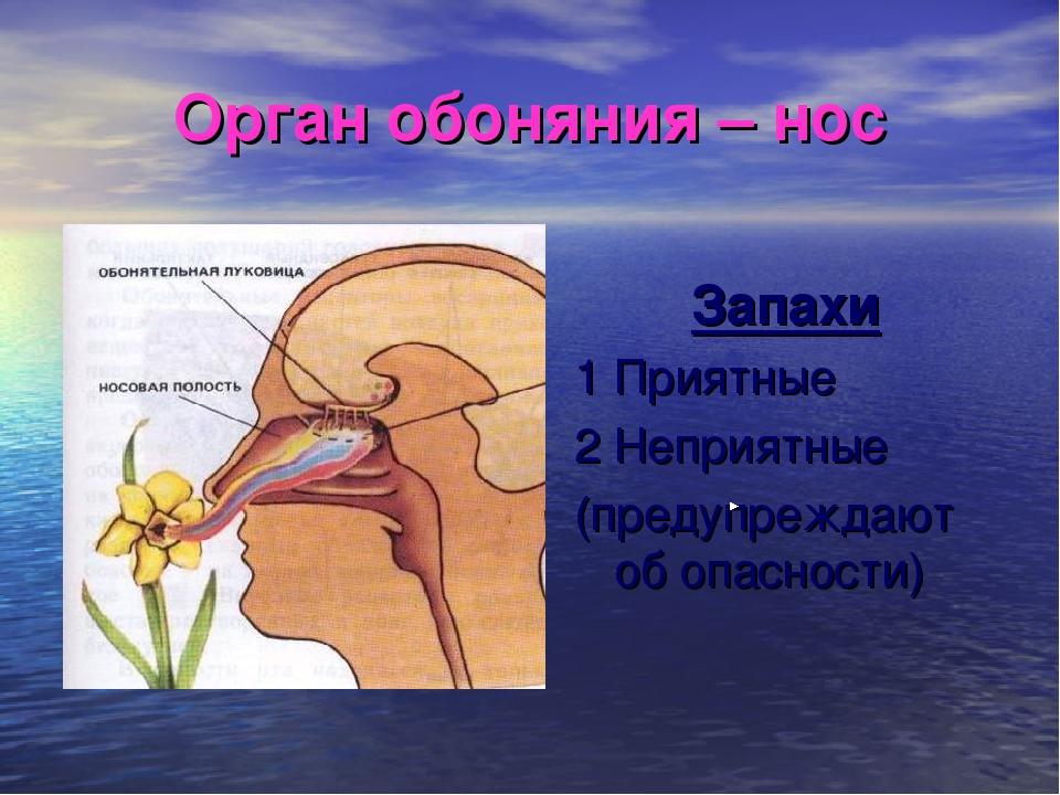 Орган обоняния – нос Запахи 1 Приятные 2 Неприятные (предупреждают об опаснос...