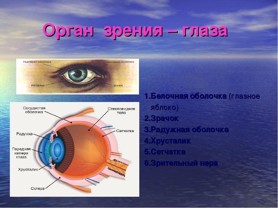 Орган зрения – глаза 1.Белочная оболочка (глазное яблоко) 2.Зрачок 3.Радужная...