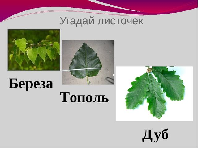 Угадай листочек Береза Тополь Дуб