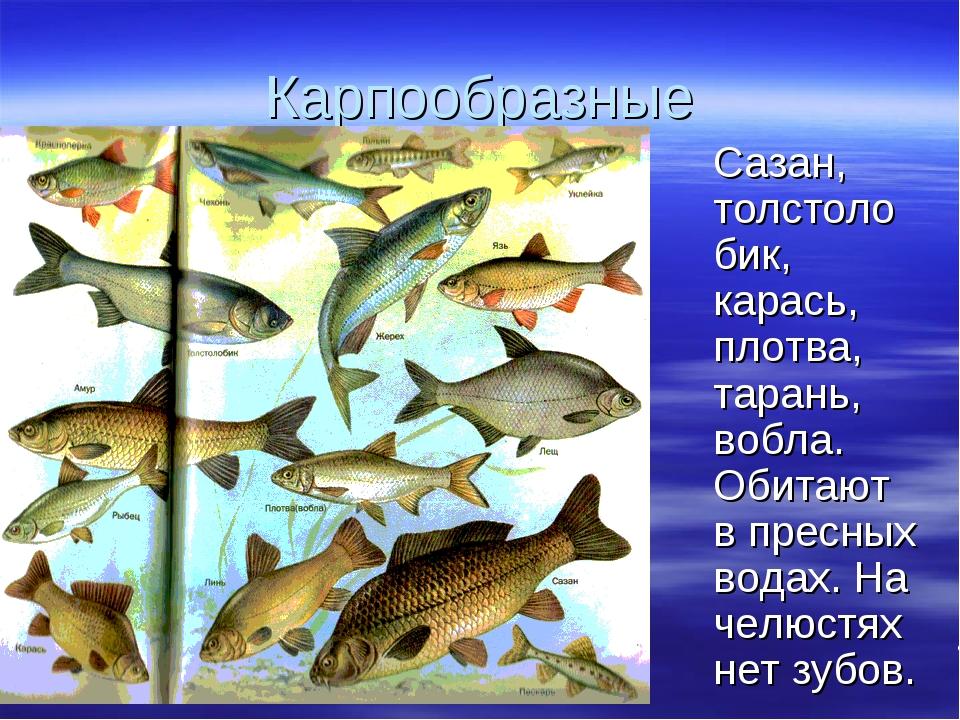 Сазан отряд рыб