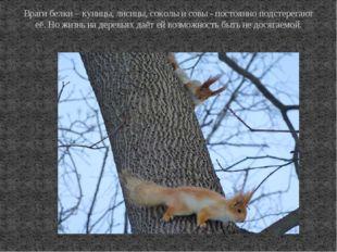 Враги белки – куницы, лисицы, соколы и совы - постоянно подстерегают её. Но ж