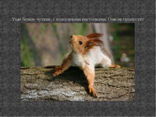 Уши белки- чуткие, с волосяными кисточками. Они не пропустят ни одного подоз