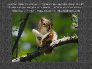 Белочка питается орехами, семенами хвойных деревьев . Любит белочка ягоды, пл