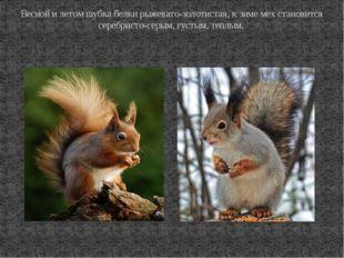 Весной и летом шубка белки рыжевато-золотистая, к зиме мех становится серебри