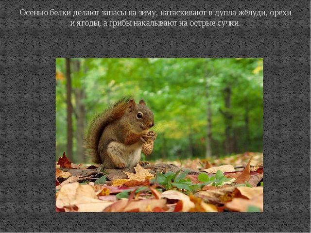 Осенью белки делают запасы на зиму, натаскивают в дупла жёлуди, орехи и ягоды...