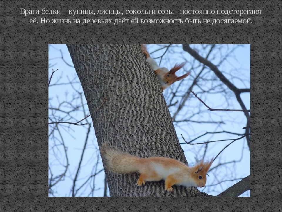 Враги белки – куницы, лисицы, соколы и совы - постоянно подстерегают её. Но ж...