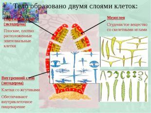 Тело образовано двумя слоями клеток: Наружный слой (эктодерма) Плоские, плотн