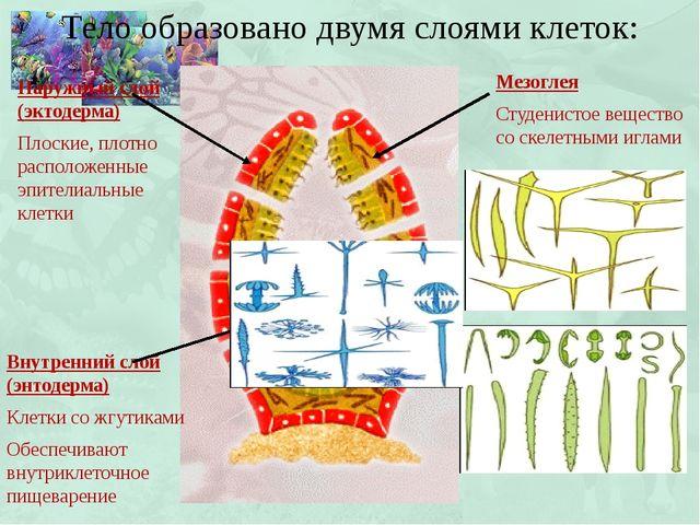 Тело образовано двумя слоями клеток: Наружный слой (эктодерма) Плоские, плотн...