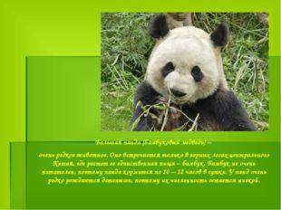 Большая панда (бамбуковый медведь) – очень редкое животное. Оно встречается т