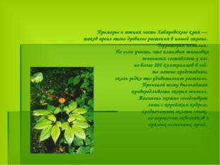 Приморье и южная часть Хабаровского края — таков ареал этого древнего растени