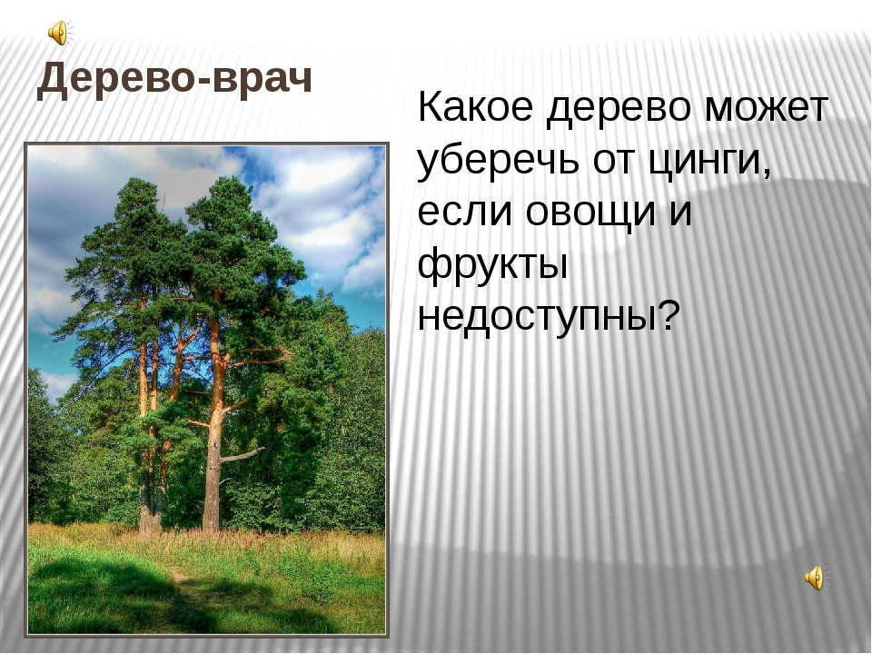 Дерево-врач Какое дерево может уберечь от цинги, если овощи и фрукты недоступ...