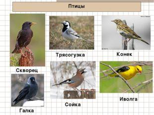 Птицы Скворец Конек Галка Трясогузка Сойка Иволга