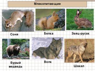 Млекопитающие Соня Заяц-русак Бурый медведь Белка Волк Шакал