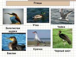 Птицы Золотистая щурка Чайка Баклан Утка Крачка Черный аист