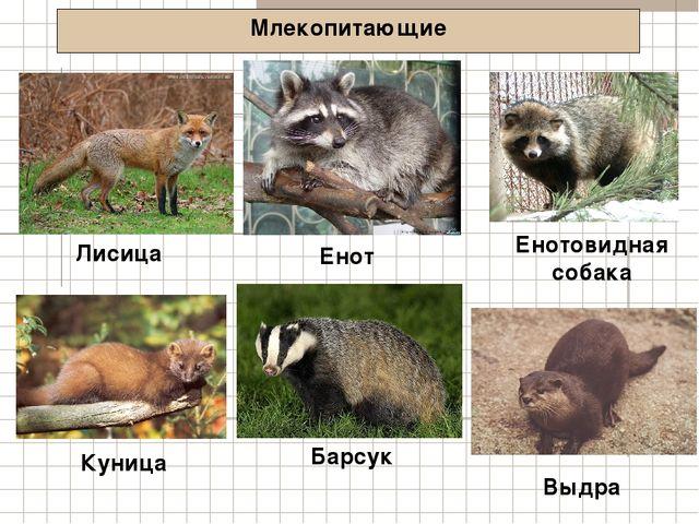 Млекопитающие Лисица Енотовидная собака Куница Енот Барсук Выдра