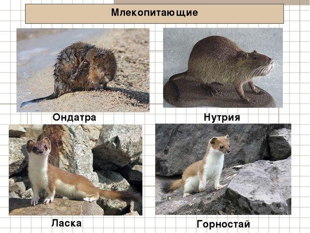 Млекопитающие Ондатра Ласка Нутрия Горностай