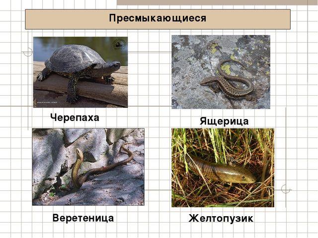 Пресмыкающиеся Черепаха Желтопузик Веретеница Ящерица