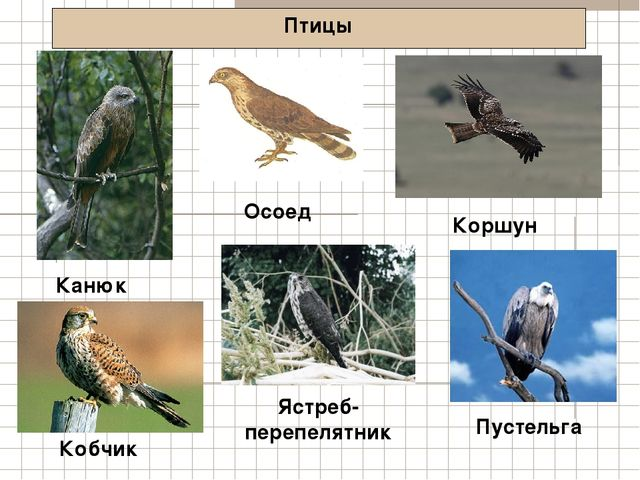 Птицы Канюк Коршун Кобчик Осоед Ястреб- перепелятник Пустельга