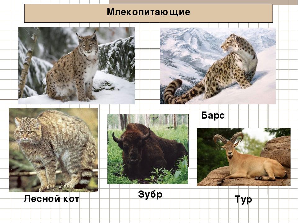 Млекопитающие Рысь Лесной кот Барс Зубр Тур
