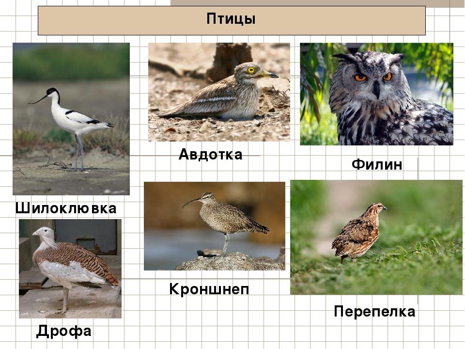 Птицы Шилоклювка Филин Дрофа Авдотка Кроншнеп Перепелка