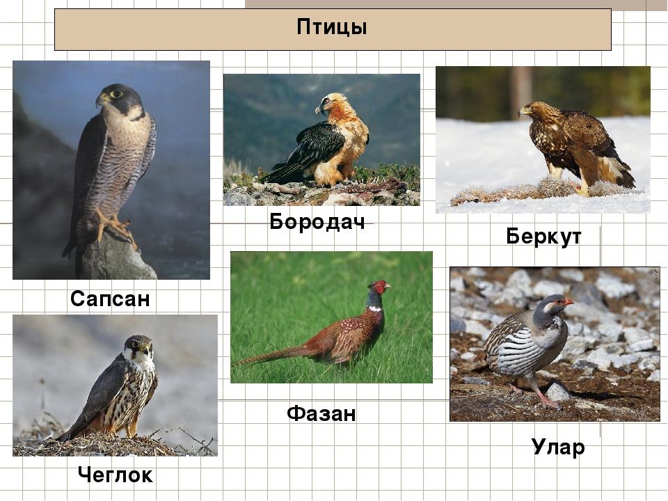 Птицы Сапсан Беркут Чеглок Бородач Фазан Улар